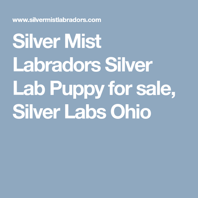 Silver Mist Labradors Silver Lab Puppy For Sale Silver Labs Ohio With Images Silver Lab Puppies Silver Labs