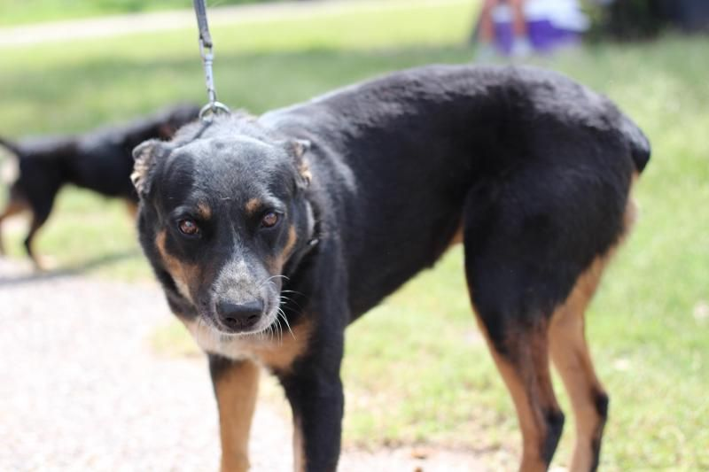 Adopt James On Rottweiler Rottweiler Mix Pets