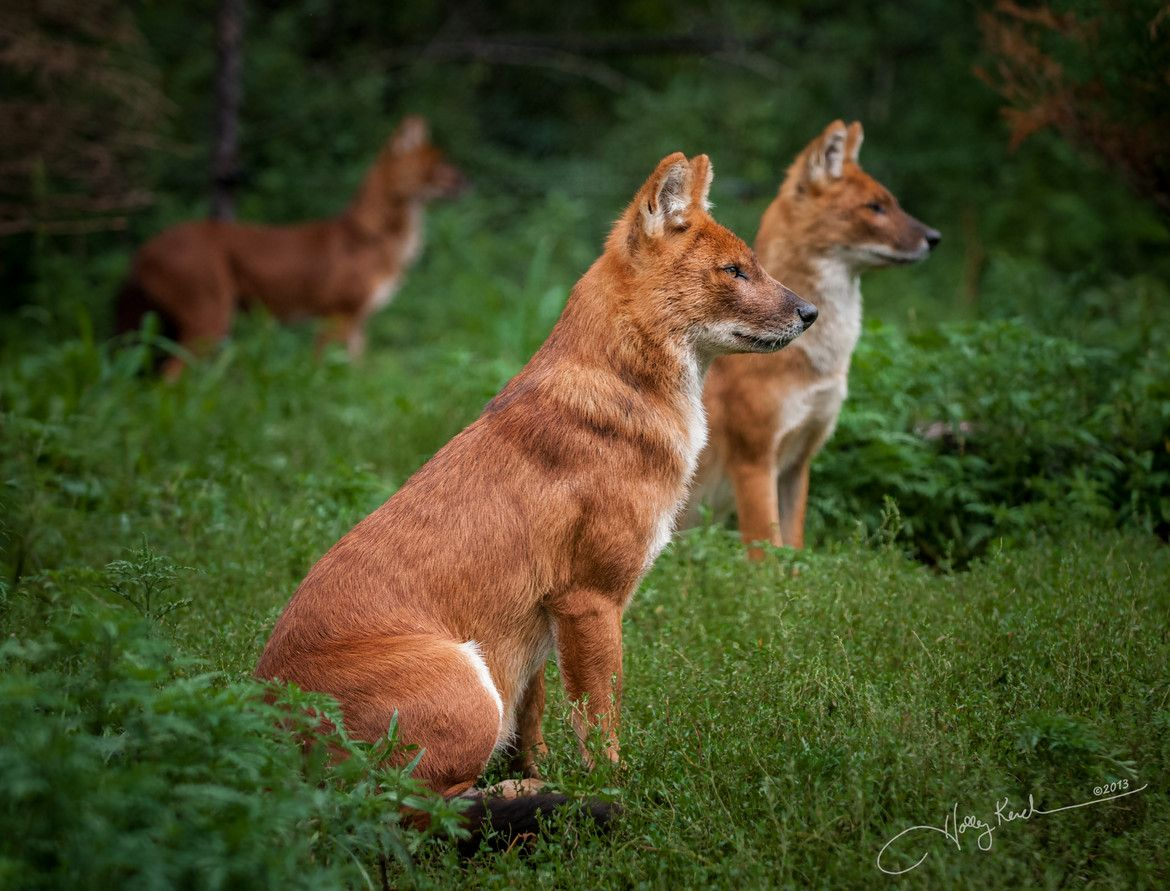 Dholes on Alert. Dholes are great communicators and use an eerie whistle to communicate with each other. They also use a variety of other noises, including clucks and high-pitched screams that are not found anywhere else in the canid families. One of the reasons dholes keep such a large home range is the need to find enough prey to eat. Dhole packs often hunt as a group, with one lead dog in charge. - See more at: http://animals.sandiegozoo.org/animals/dhole#sthash.cYRzfZtR.dpuf