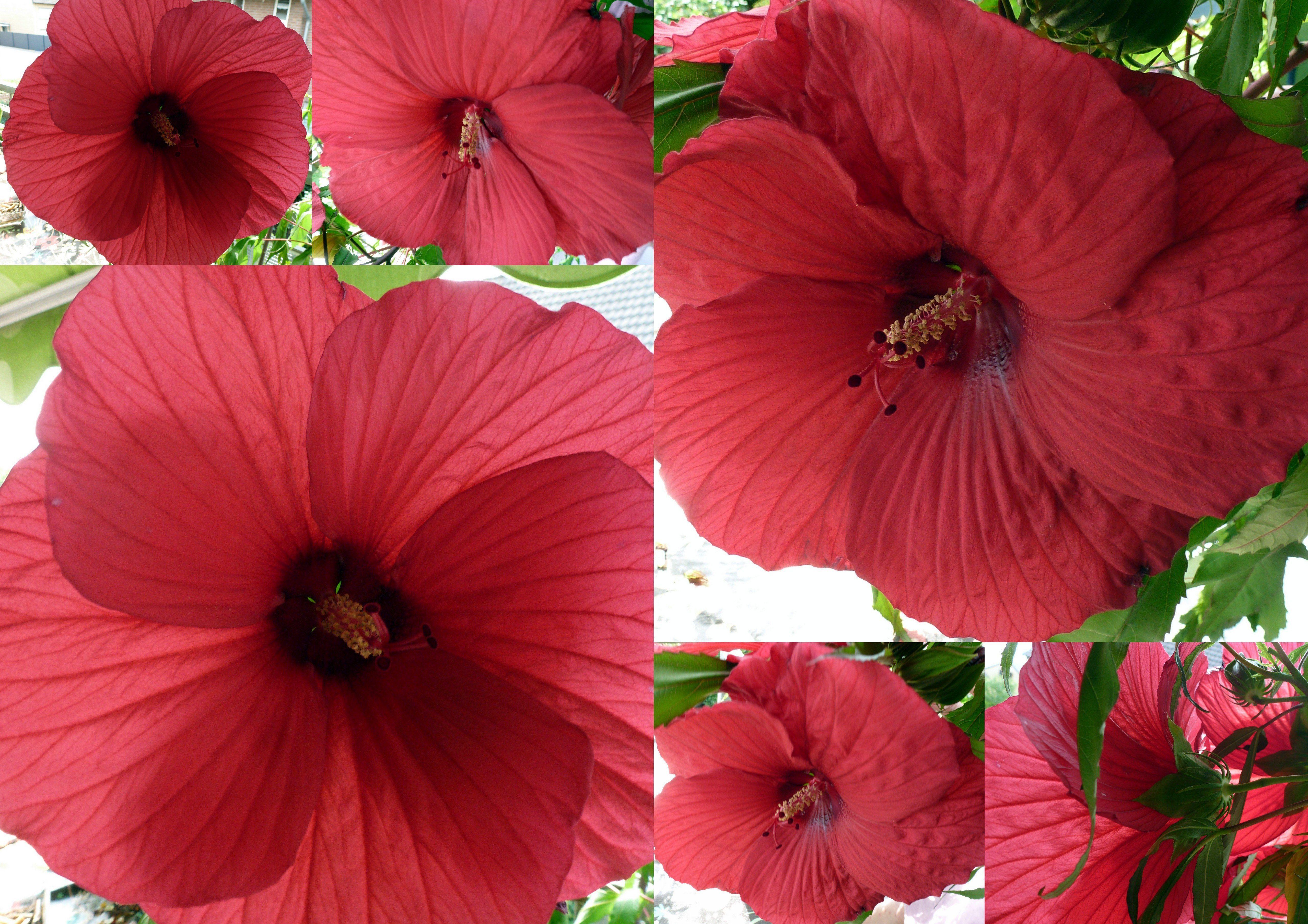 Hibiskus Grosse Rote Blüten Riesenhibiskus Staudenhibiskus