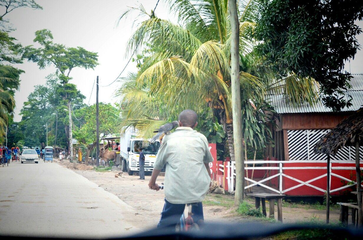 At the refreshing shade of Ambanja where mingle parrot, zebu, dog, human, car and rickshaw.