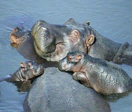 Hippo (Hippopotamus amphibius) ANIMALS Pinterest Hippopotamus