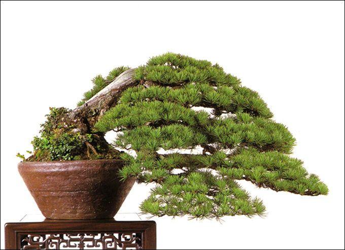 japanese white pine by kiyoshi yamagami bonsai. Black Bedroom Furniture Sets. Home Design Ideas