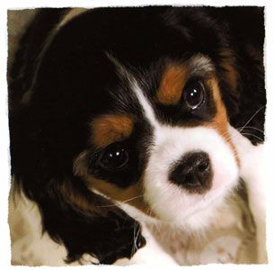 Cavalier King Charles Spaniel Puppies For Sale Dallas Fort Worth Tex Spaniel Puppies For Sale King Charles Cavalier Spaniel Puppy Cavalier King Charles Spaniel