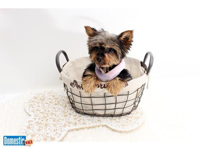 Kiara Teacup Yorkshire Terrier Puppy Available