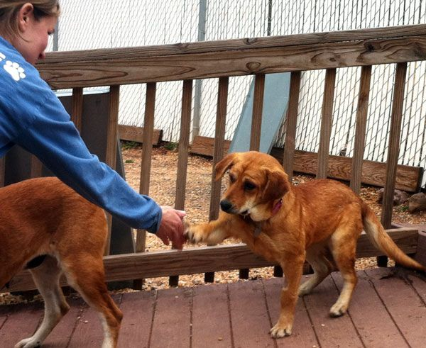 Delaware Valley Golden Retriever Rescue Rescues 21 Goldens From Nc Read Their Newsletter Golden Retriever Rescue Golden Retriever Animal Rescue League