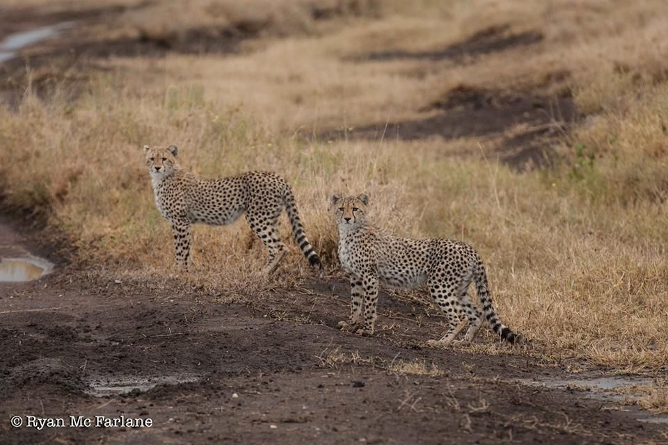 Two young cheetah looking mischievous!  (Serengeti Migration Camp) Photo credit: Ryan Mc Farlane