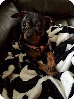 Vacaville Ca Chihuahua Terrier Unknown Type Medium Mix Meet