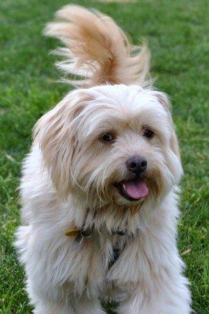 A Male Soft Coated Wheaten Terrier Lhasa Apso Tibetan Dog