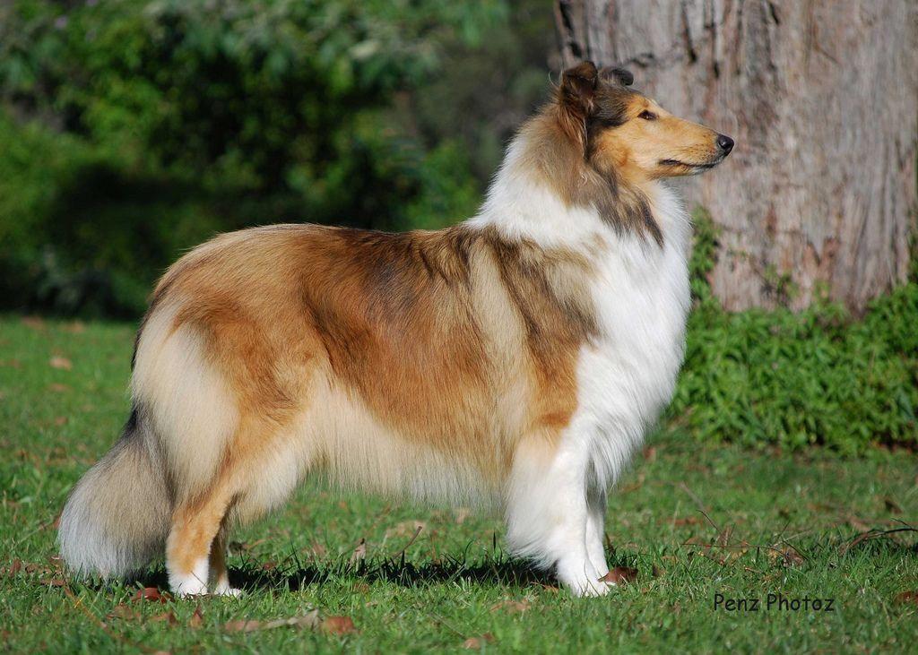Setland Sheepdog Blue Merle Shetland Sheepdog Collie Dog
