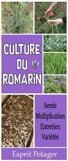 comment planter romarin rampant