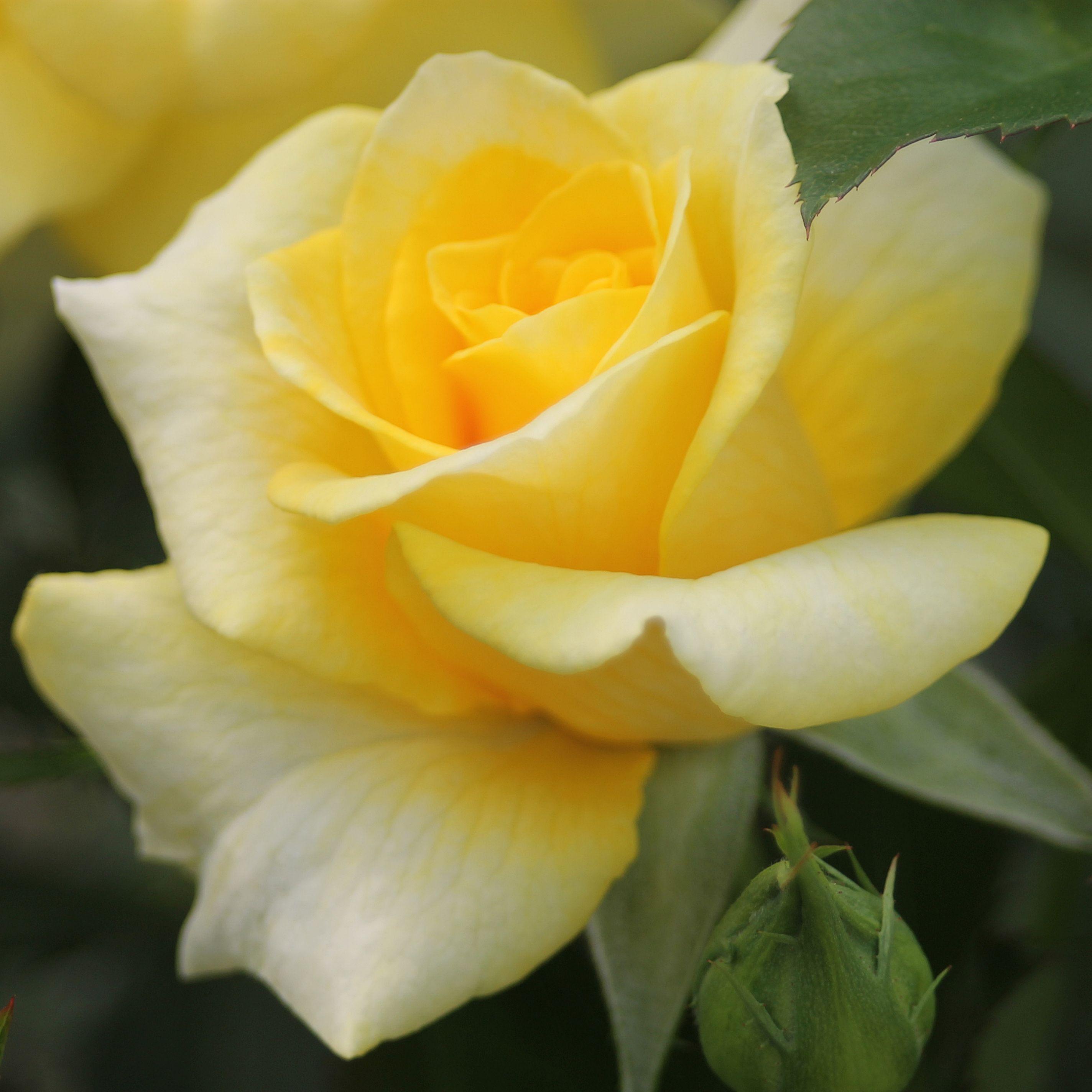 goldquelle®  schöne blumen rosen tantau rosen