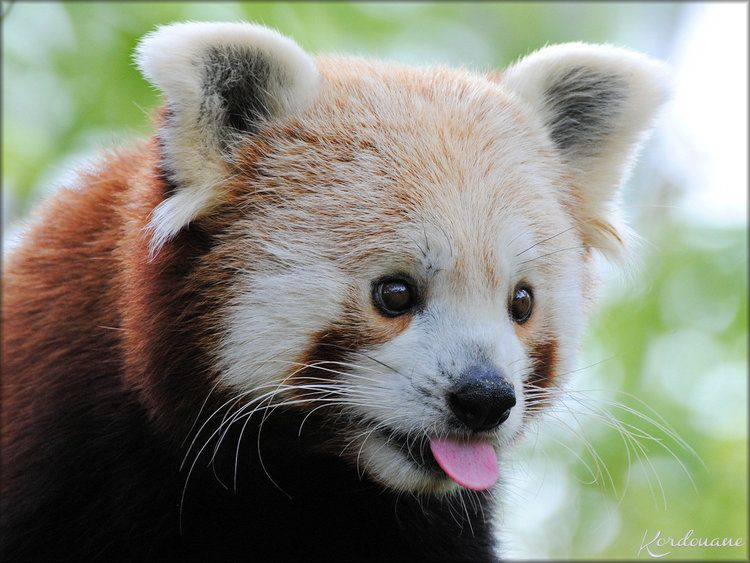 pandas roux du zoo de la fl che yang et sangha panda roux red panda pinterest panda. Black Bedroom Furniture Sets. Home Design Ideas