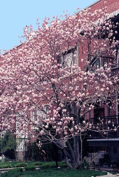magnolia x soulangeana zone 5 soleil ou mi ombre sol profond et fertile hauteur 8 m largeur 4. Black Bedroom Furniture Sets. Home Design Ideas