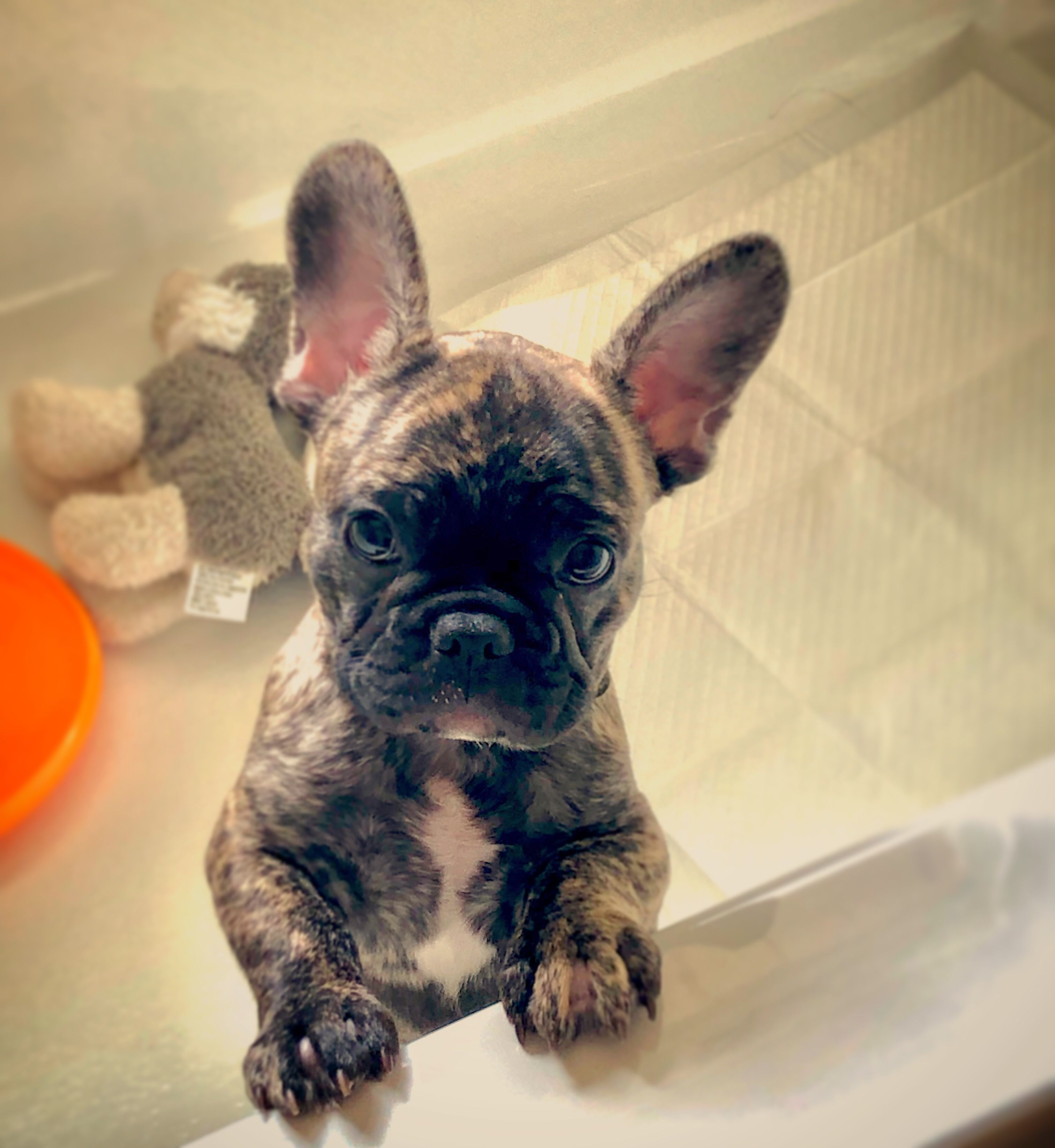 Puppy Jail Charlie The Frenchie Puppies French Bulldog Bulldog