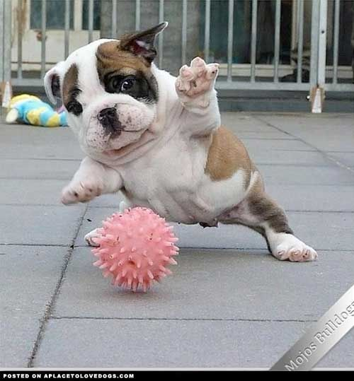Soccer Bulldog Puppy Cute Animals