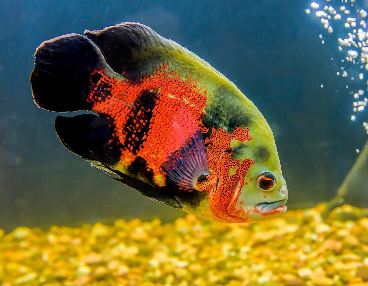 Red Oscar fish in water | oscar fish | Pinterest | Oscar fish, Fish ...