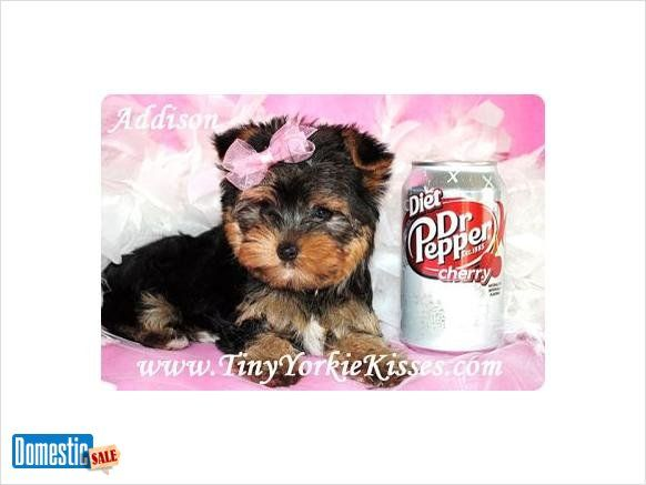 Yorkie Puppies Available in Northern California