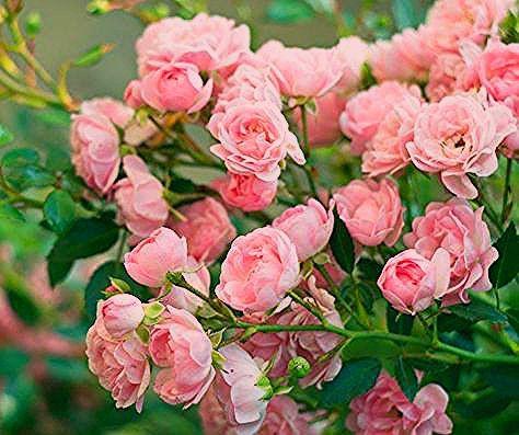 Photo of Knoblauch-Sud gegen Pilze an Rosen – eine Anleitung