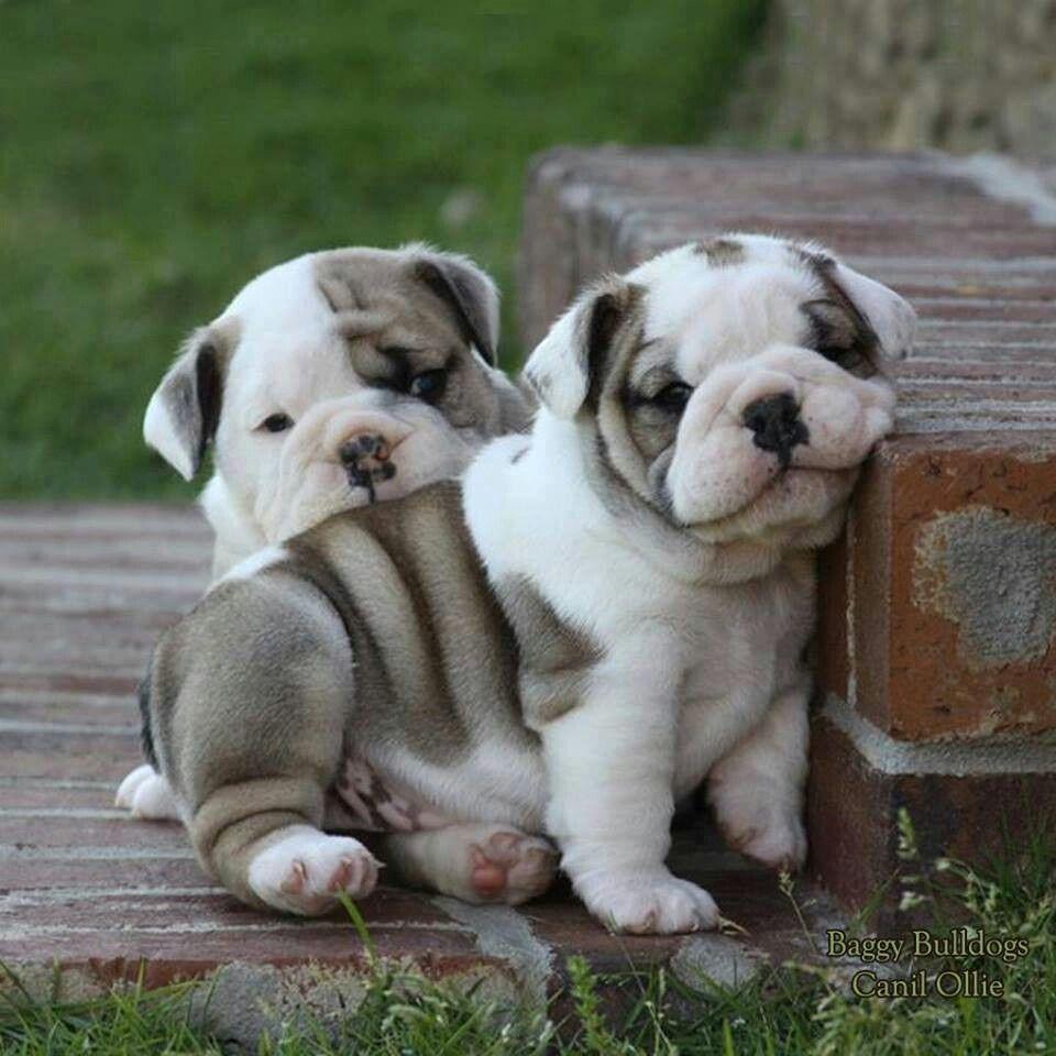 Angry Gray Gibby English Bulldog Puppies Bulldog Puppies