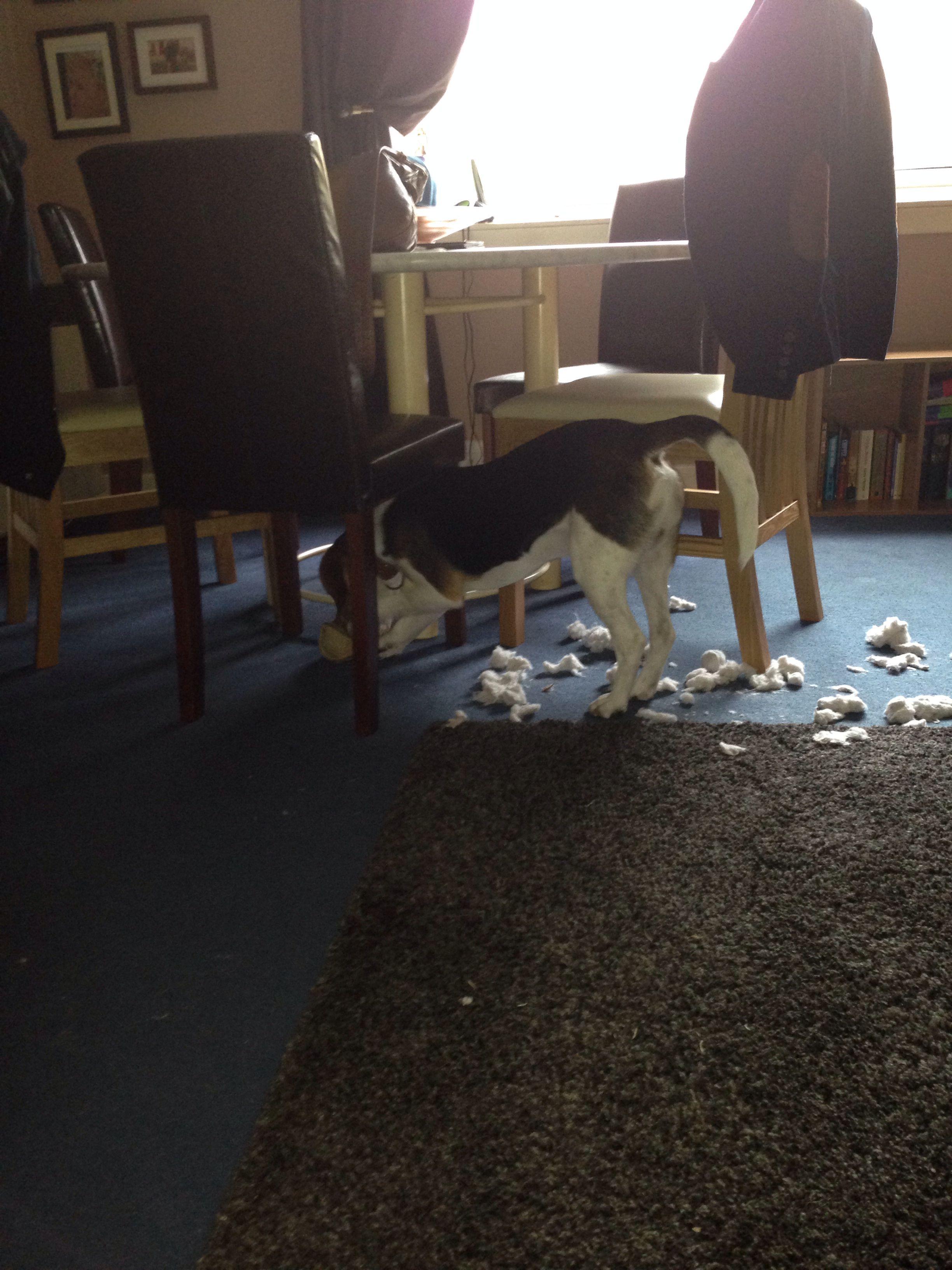9 Month Old Beagle Samuel Arthur The Toy Destroyer Beagle 9 Month Olds Boston Terrier