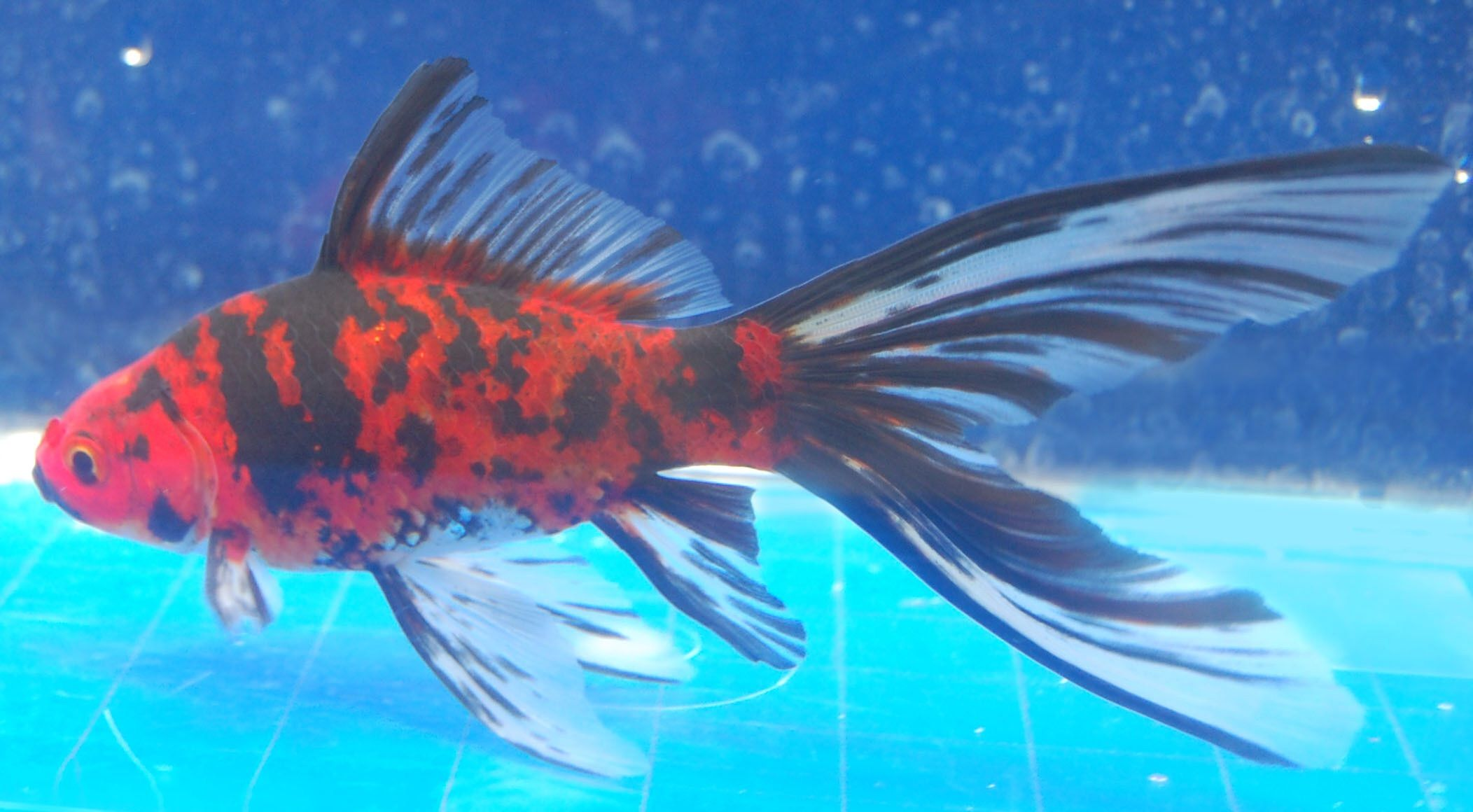 Goldfish lot 39 s of beautiful shubunkins out there for Shubunki fische