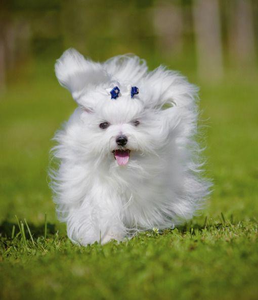 Maltese Maltese Dogs Maltipoo Dog Cute Dogs