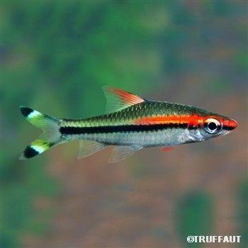Barbus Varie Freshwater Tropical Fish Pinterest Aquarium Fish