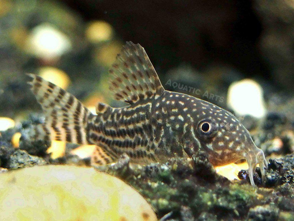 Sterba S Cory Catfish Corydoras Sterbai Tank Bred Cory Catfish Aquatic Arts Small Catfish