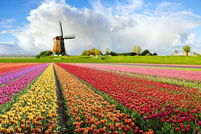 Tulip Flower Fields In Holland Netherlands Tourism Trip Tulip Fields
