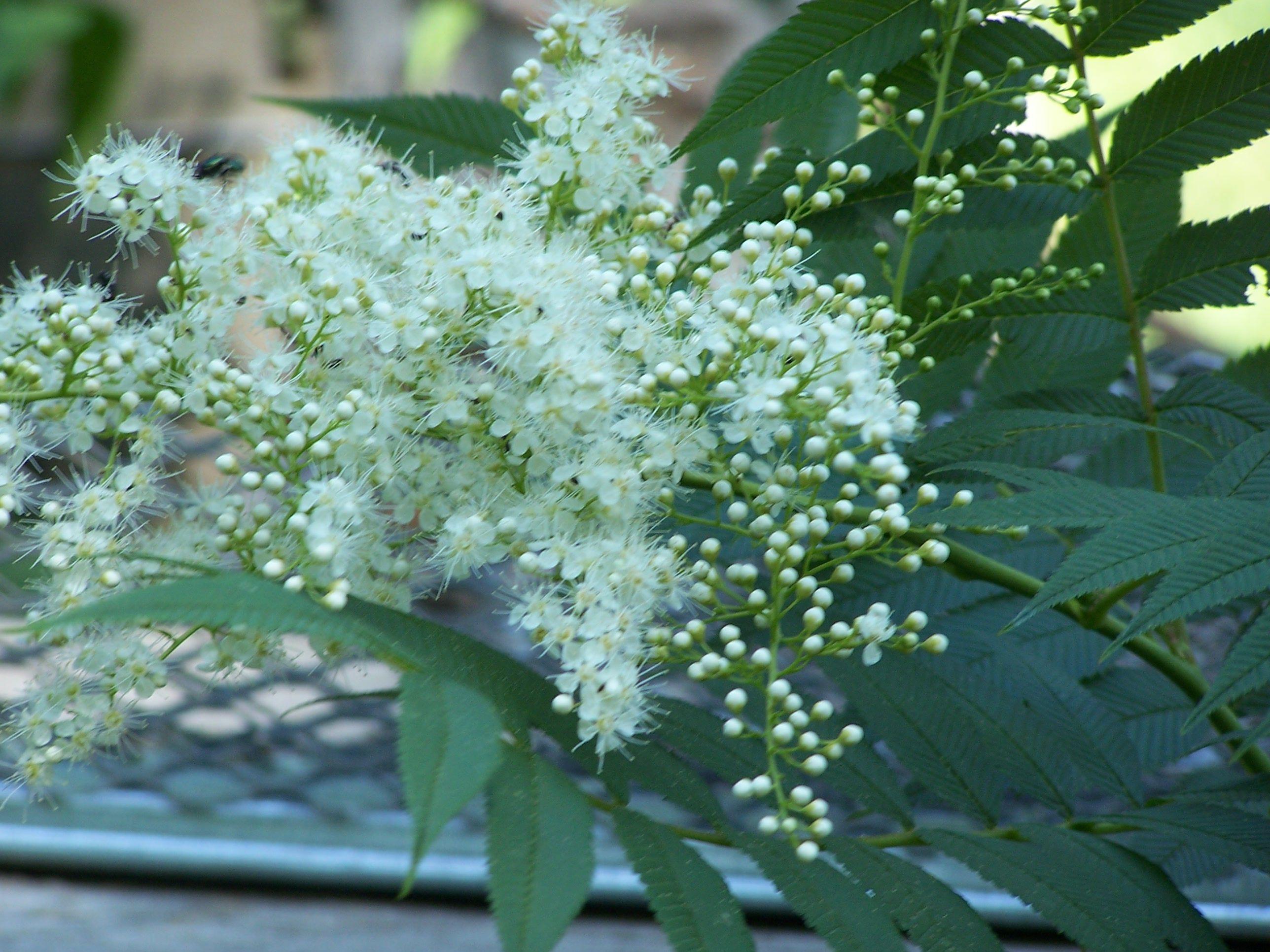 Ural False Spirea Is A Great Shrub For Shade Gardens Shade Shrubs Shade Garden Spirea