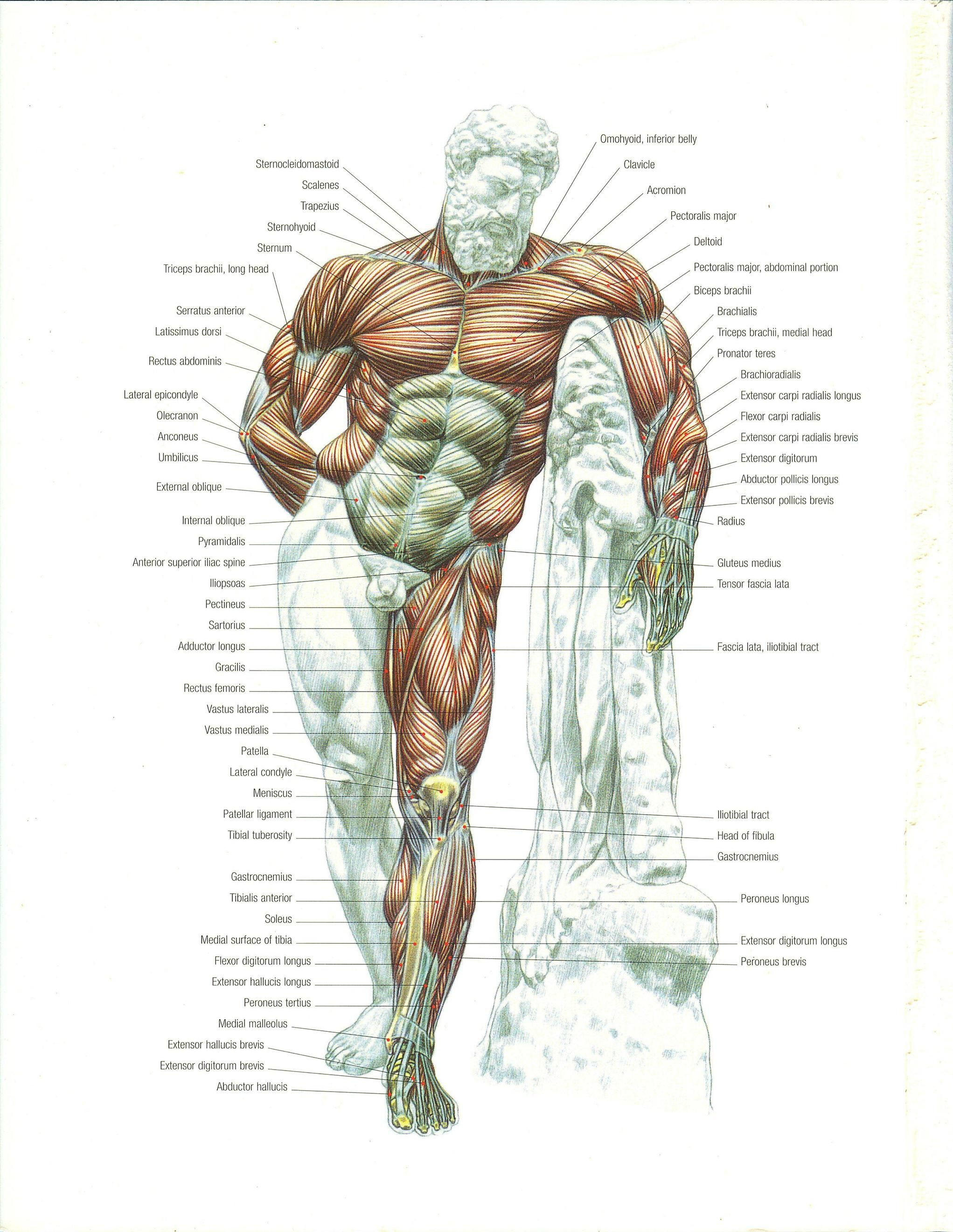 A complete illustration of your musculature - Album on Imgur ...