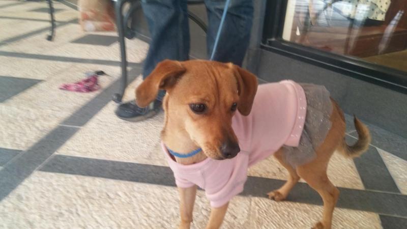 Adopt Ginger On Petfinder Adoptable Dachshund Dog Pet Adoption Adoption