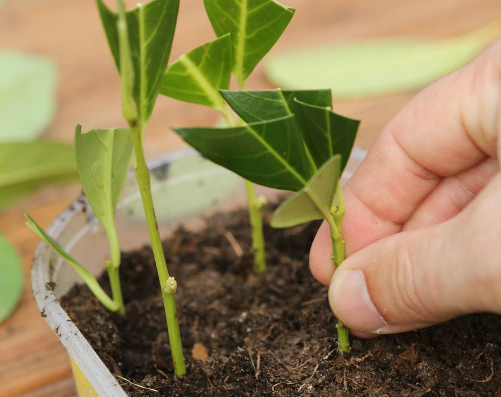 Kirschlorbeer erfolgreich vermehren: So wird's gemacht