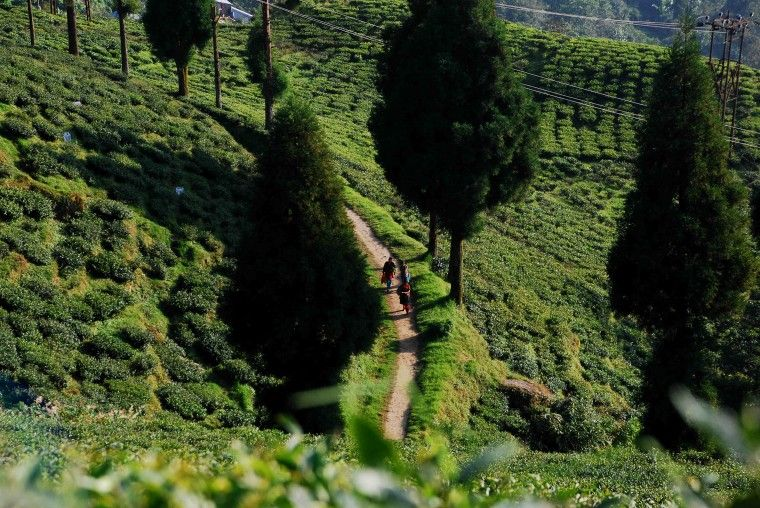 524ab4fc7d52c2214d7106c4ed8a50bd - List Of Tea Gardens In Darjeeling