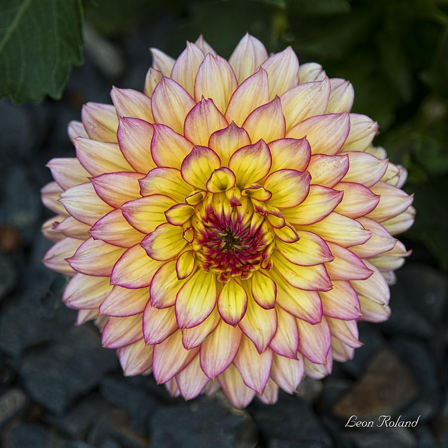 dahlia my mother loved dahlias and hers were always so beautiful dahlia my mother loved dahlias and hers were always so beautiful i sure do izmirmasajfo
