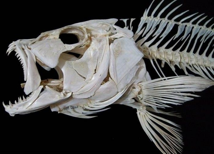 Gallery For > Fish Skeleton | referencias de animales | Pinterest ...