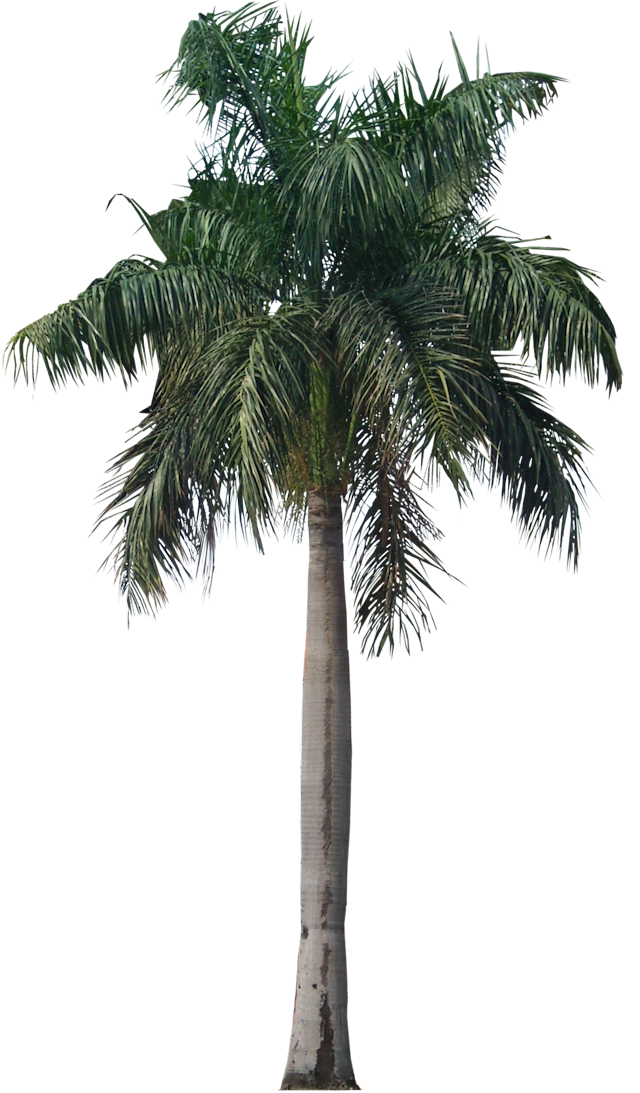 A Collection Of Tropical And Subtropical Plant Images With Transparent Background Tree Photoshop Palm Tree Png Palm Tree Pictures
