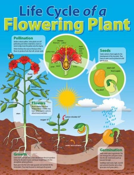 laminated life cycle of a flowering plant educational chart read more life cycles. Black Bedroom Furniture Sets. Home Design Ideas