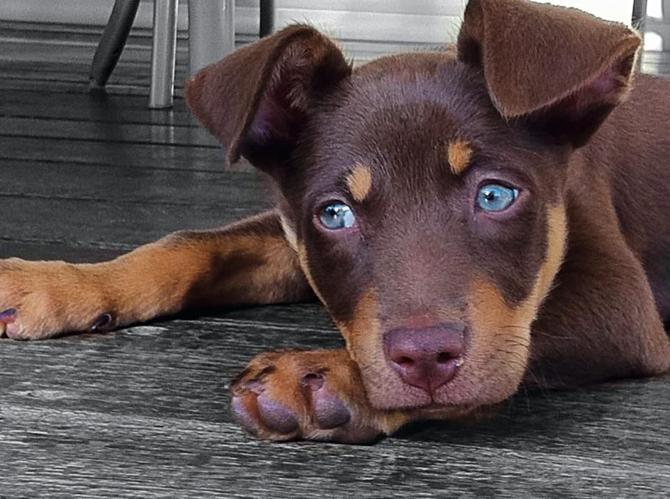 Pin By Brianna Wilson On Creatures Dog Kisses Blue Eyed Dog Cute Dogs