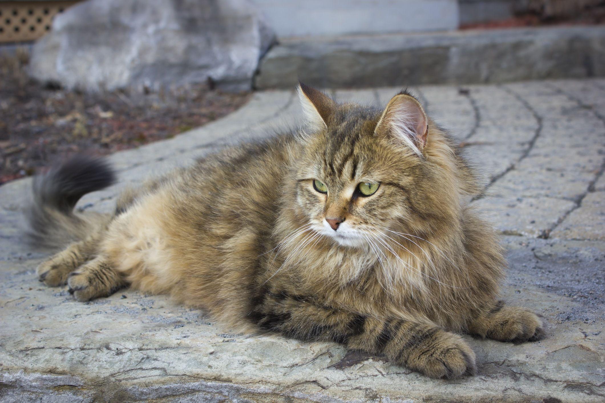 Siberian Cat Siberian cat, Cat breeds, Siberian forest cat