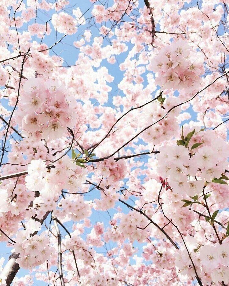Aesthetic Spring Beautiful Flowers Pastel Nature Japan Vintage Tree Https Weh Pastel Pink Aesthetic Aesthetic Wallpapers Aesthetic Pastel Wallpaper