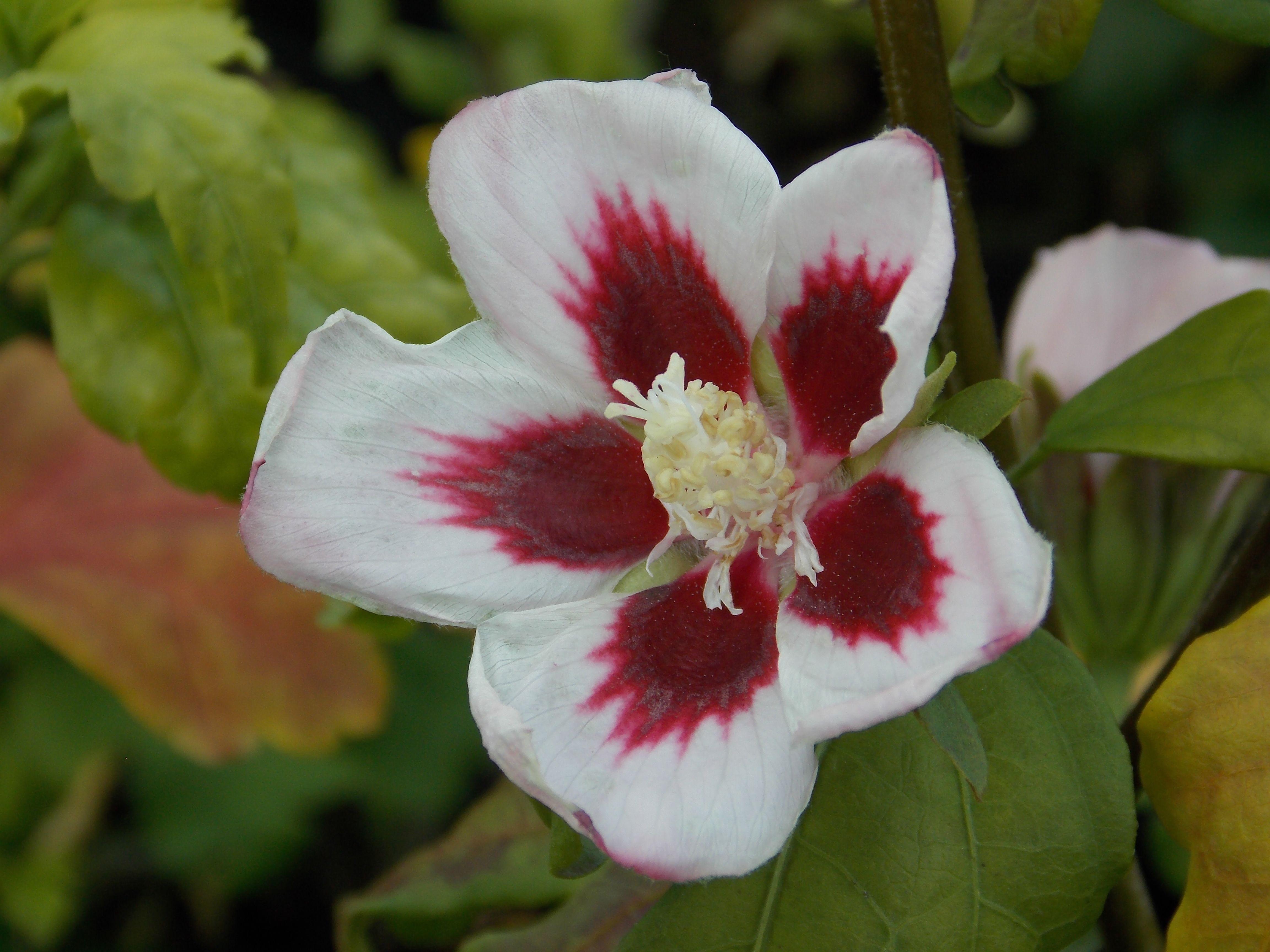 Hibiscus Syriacus Hamabo Hollyhock Like Flowers Of Soft Shell