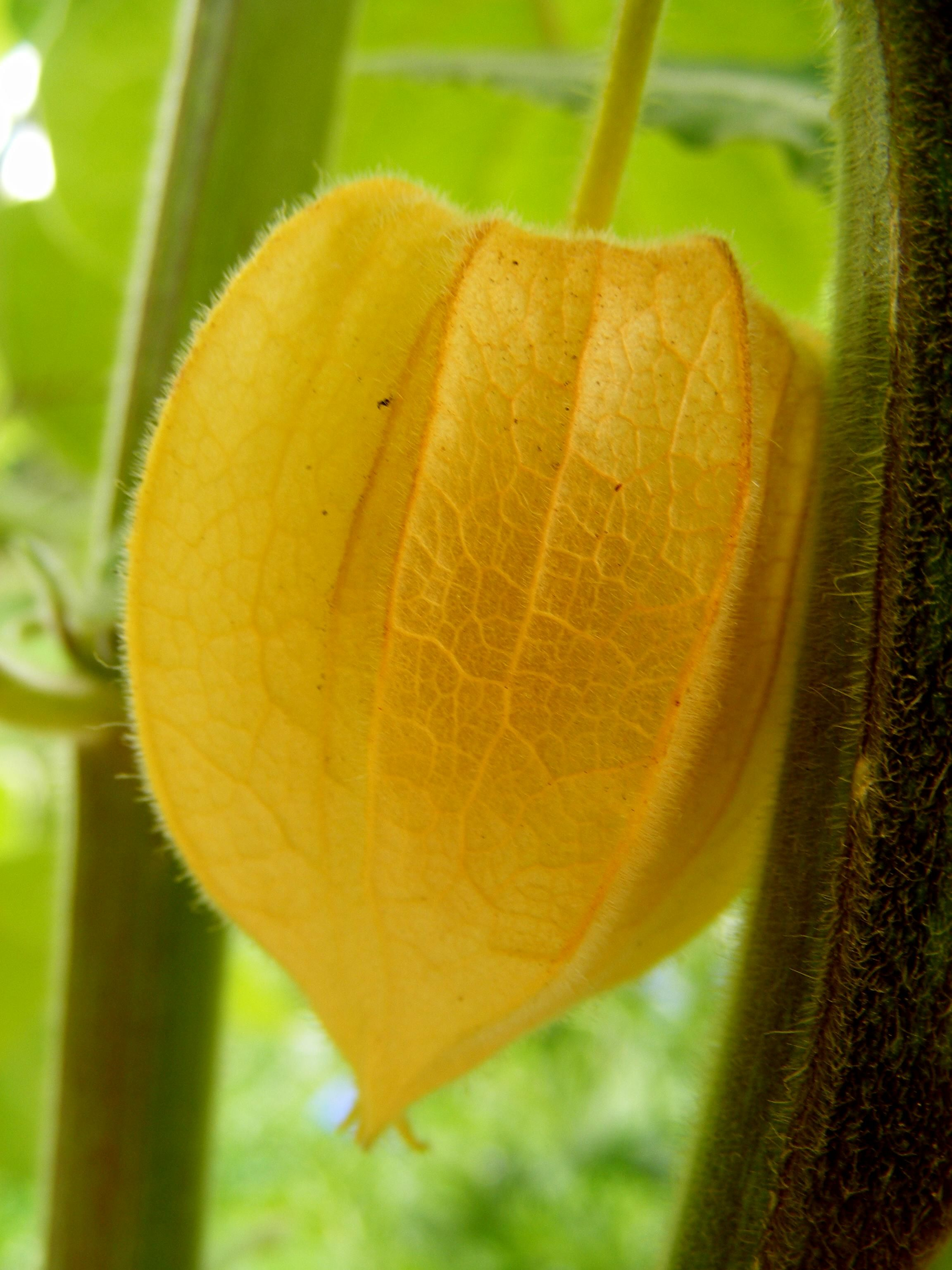 physalis pod beginning to ripen cape gooseberries are their other