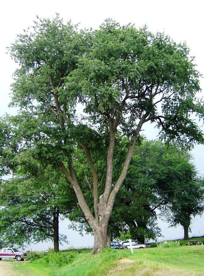 Cherry Tree Picture Black Cherry Tree Tree Cherry Tree