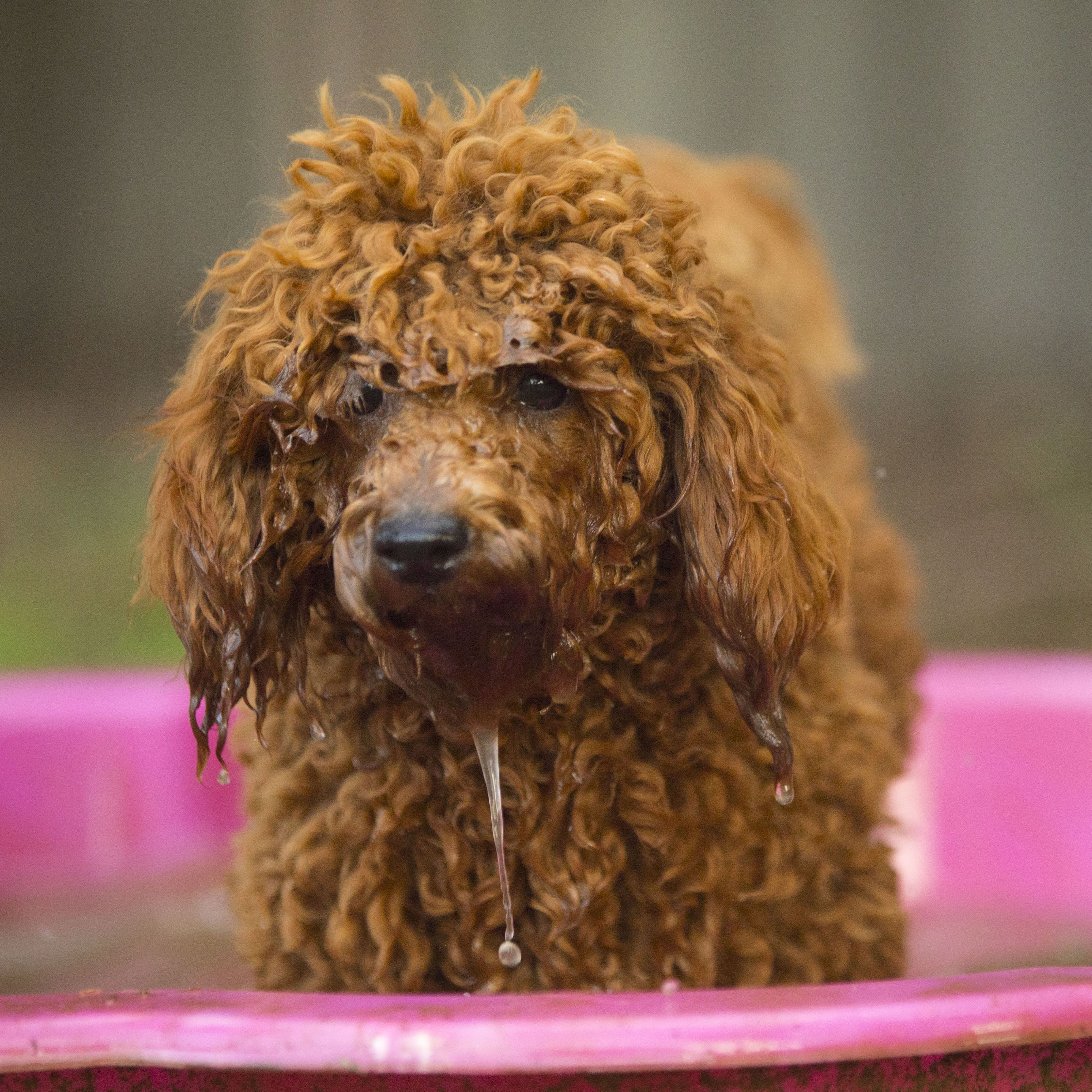 Our Dogs Love Playing In Water Cavoodles Are A Mix Of The Cavalier King Charles Spaniel And The Poodle Miniature Or Toy Both Breeds Poodle Mix Poodle Dogs