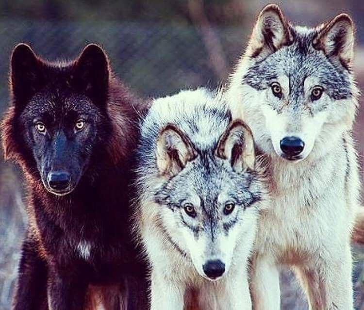 Pin By Vanessa Farias On Para Tonta Wolf Dog Wolf Pictures Wolf Love