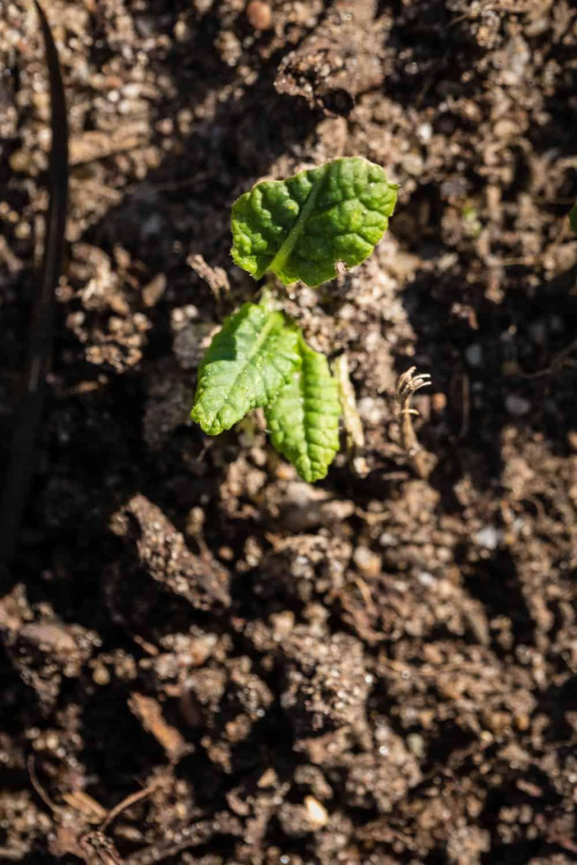 Unkraut Fruh Erkennen Der Kleine Horrorgarten In 2020 Unkraut Pflanzen Tomaten Garten