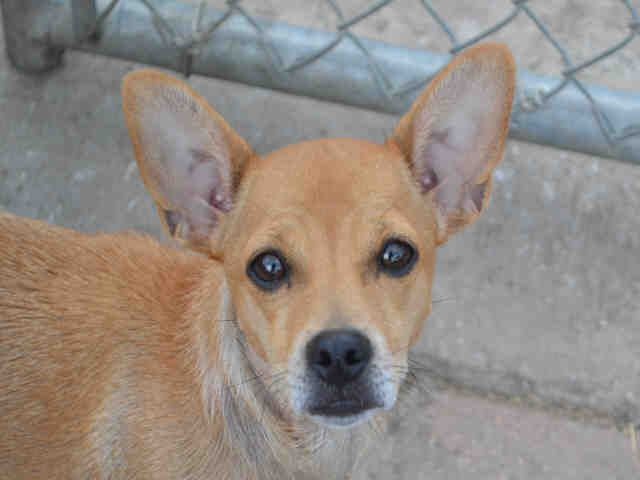 Chiweenie Dog For Adoption In Plano Tx Adn 501363 On Puppyfinder