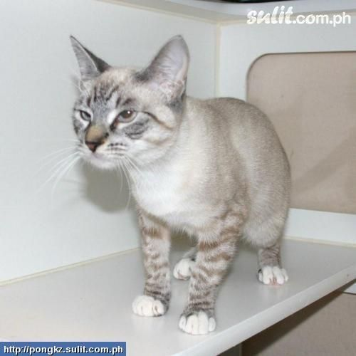 Lynx Point Siamese Cats Siamese Cat Lynx Point Male With Images Siamese Cats Cool Cats Cats